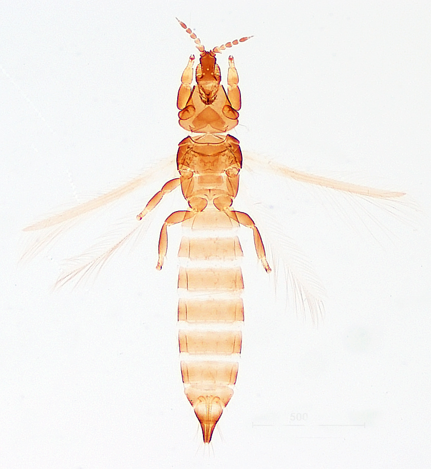 Chirothrips Frontalis Oz Thrips
