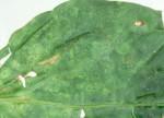 Capsicum leaf