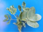 Peanut leaves