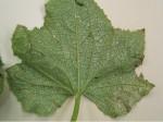 Thrips tabaci damage on melon