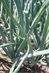 Thrips tabaci damage on onion